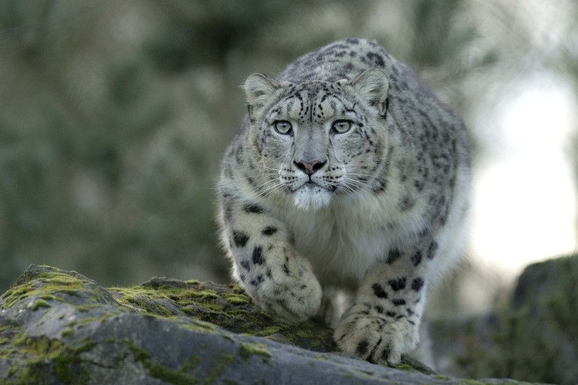 Snow Leopard Wallpapers, HD Widescreen Snow Leopard Wallpapers - TIO-HQ  Definition Backgrounds