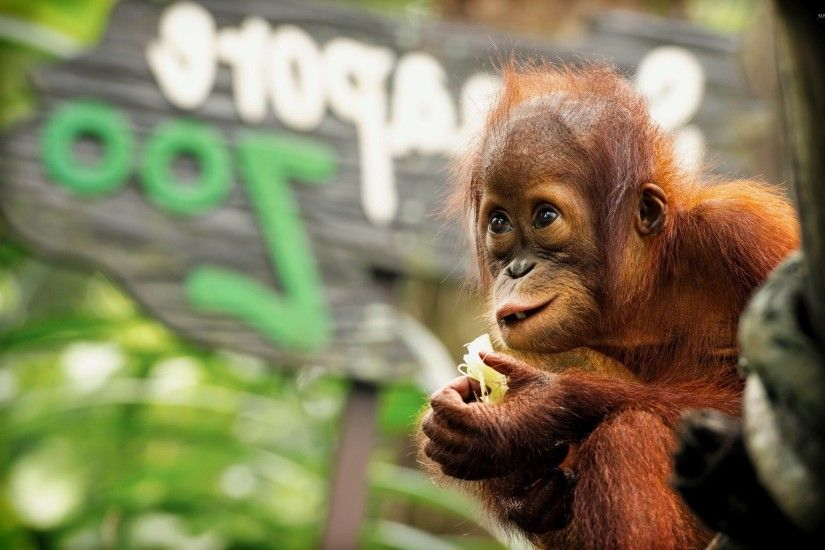 Baby Orangutan wallpaper