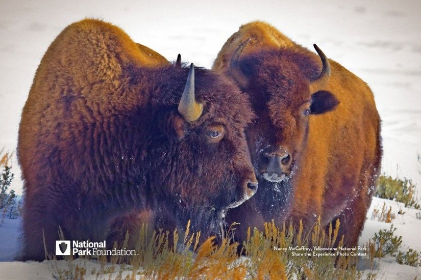 Click here to download the Yellowstone Bison wallpaper