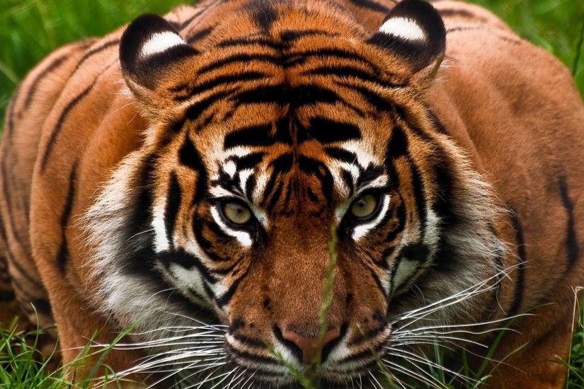 Preview wallpaper tiger, face, aggression, animal 3840x2160
