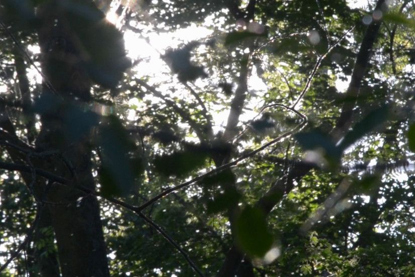 Poplar fluff flies in the forest, background of green leafy trees on a  sunny day Stock Video Footage - VideoBlocks