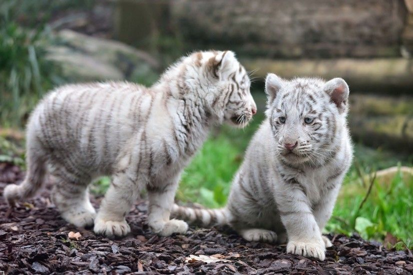 ... White tiger cubs HD Wallpaper 2560x1600