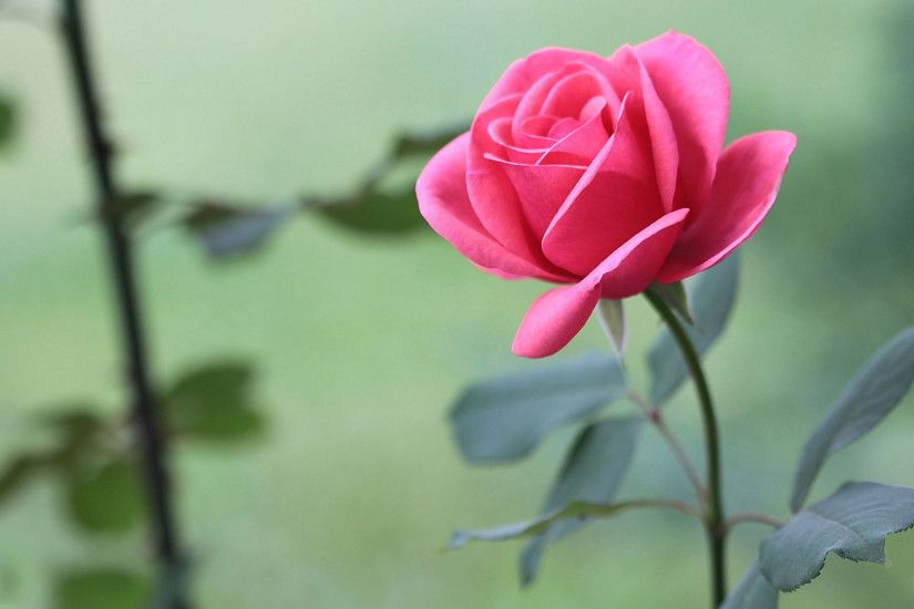 Rose Flower Wallpaper HD ·① WallpaperTag