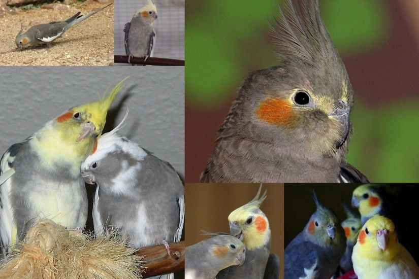 Cockatiels images Cockatiels HD wallpaper and background photos