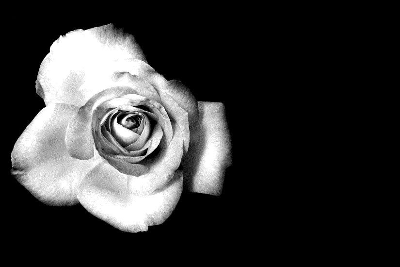 black and white rose Desktop wallpapers