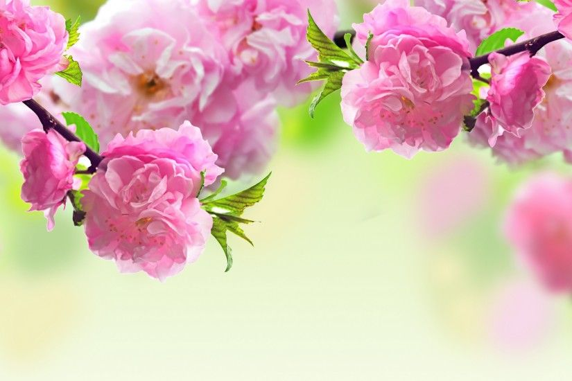 Sakura flower Full hd wallpapers