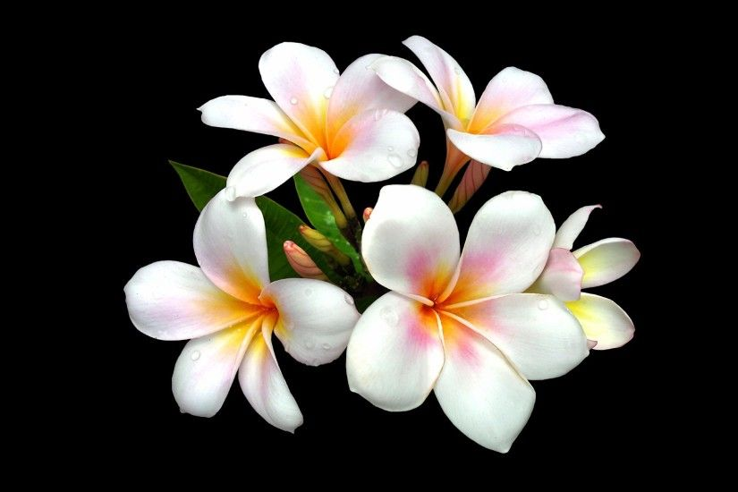 Beauty Adelina Plumeria Flowers Friend Art Abstract Wallpapers Pictures -  1920x1080