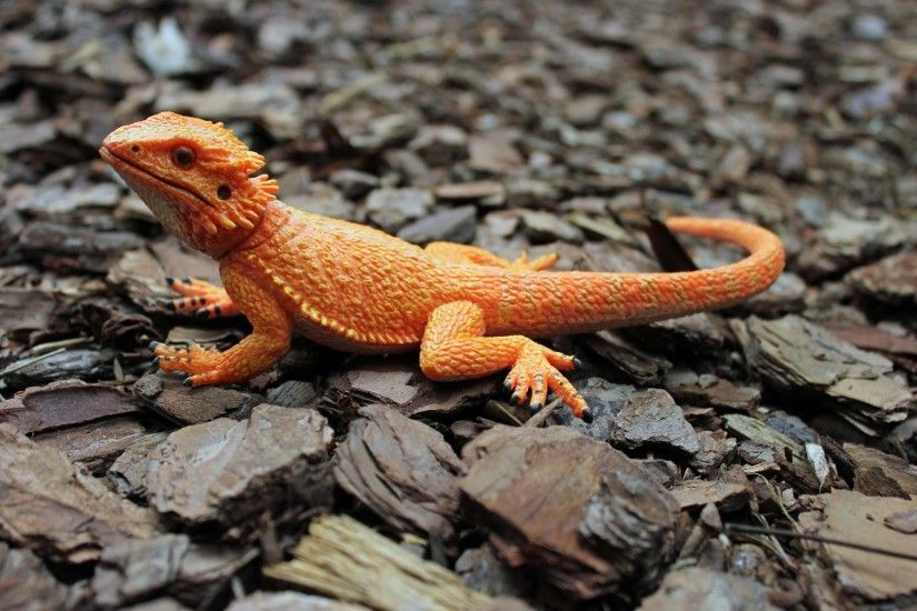 Bearded Dragon breed