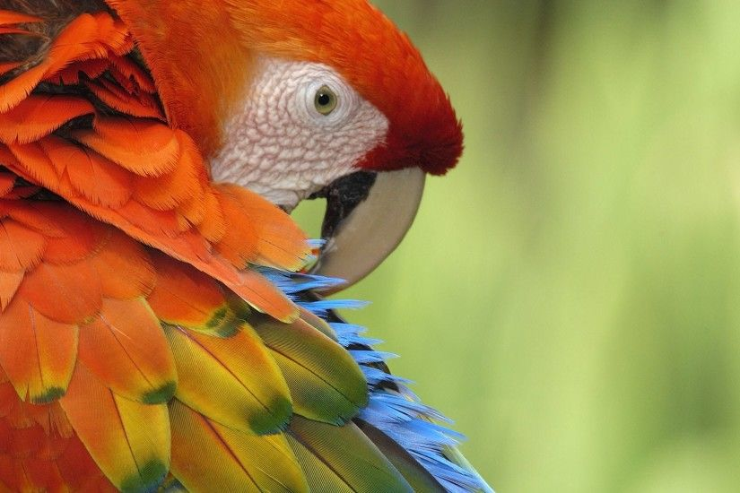 Red Parrot Wallpaper