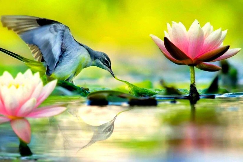 Lotus flower wallpaper small cute bird and lotus flowers wallpapers mightylinksfo