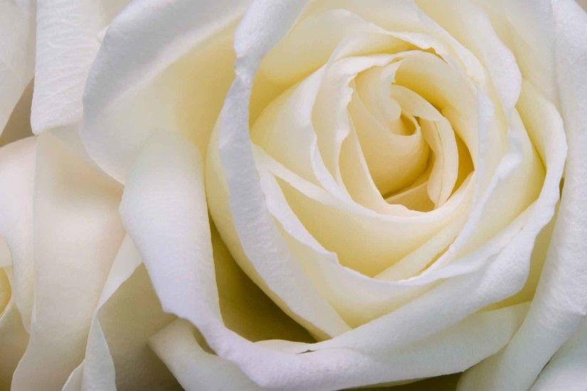 Flowers White Roses Rose Wallpaper Desktop Nature HD