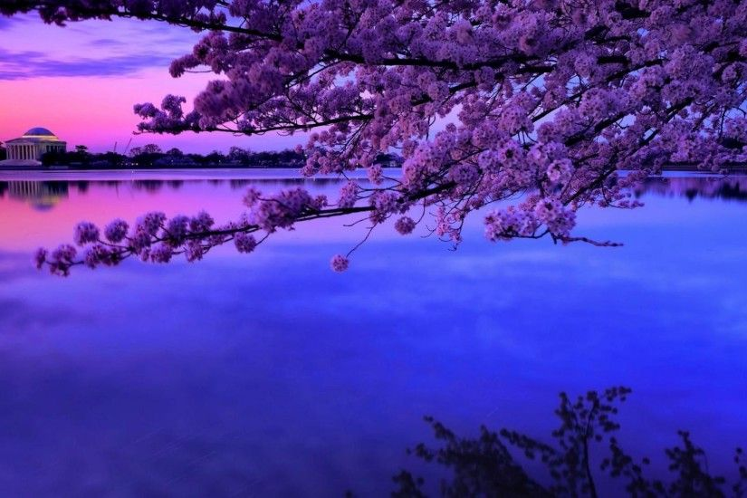 Cherry Blossom Over The Tidal Basin In Dc HD Desktop Background