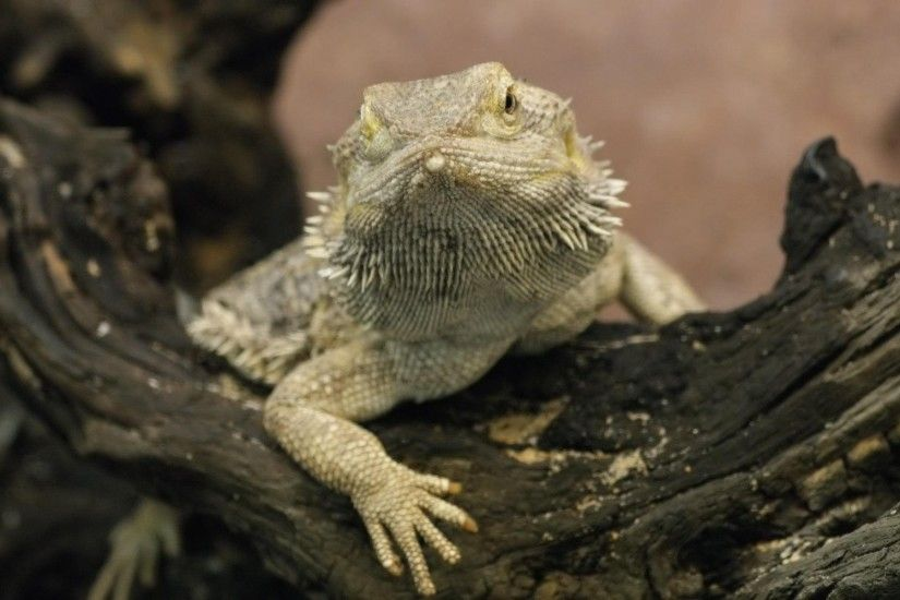 Bearded Dragon 484864