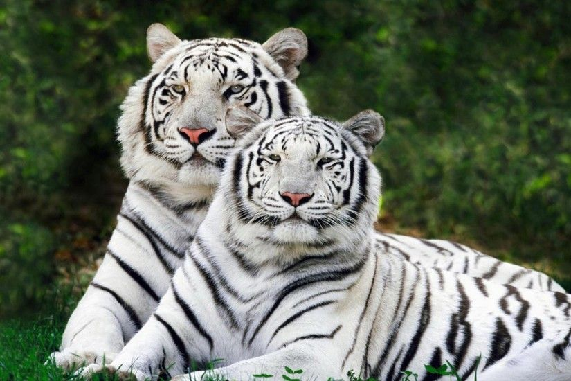 Why Are These Rare & Weird Tigers White?