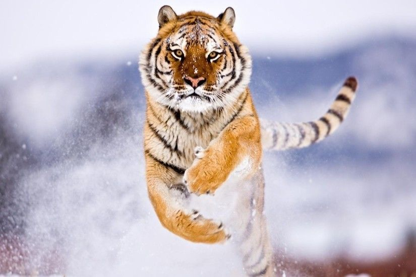 tiger, Snow, Attack, Animals Wallpapers HD / Desktop and Mobile Backgrounds