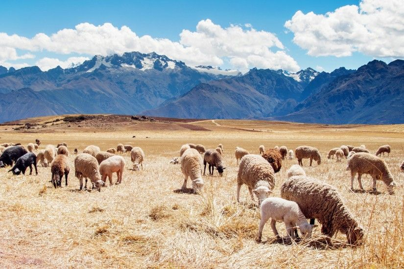 Peru, Mountain, Landscape, Nature, Animals, Sheep Wallpapers HD / Desktop  and Mobile Backgrounds