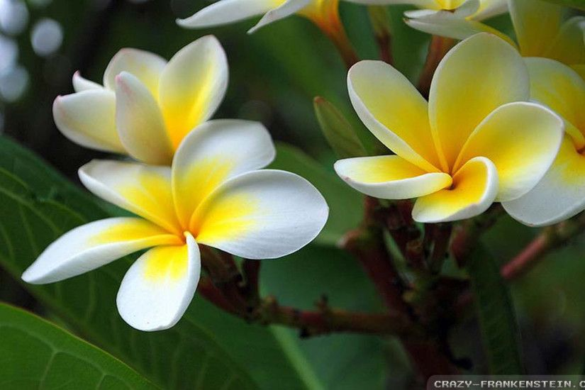 Wallpaper: Lovley plumeria wallpapers. Resolution: 1024x768 | 1280x1024 |  1600x1200. Widescreen Res: 1440x900 | 1680x1050 | 1920x1200
