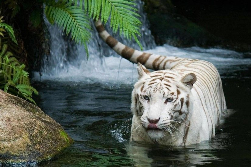 White Tiger Wallpaper High Quality Resolution