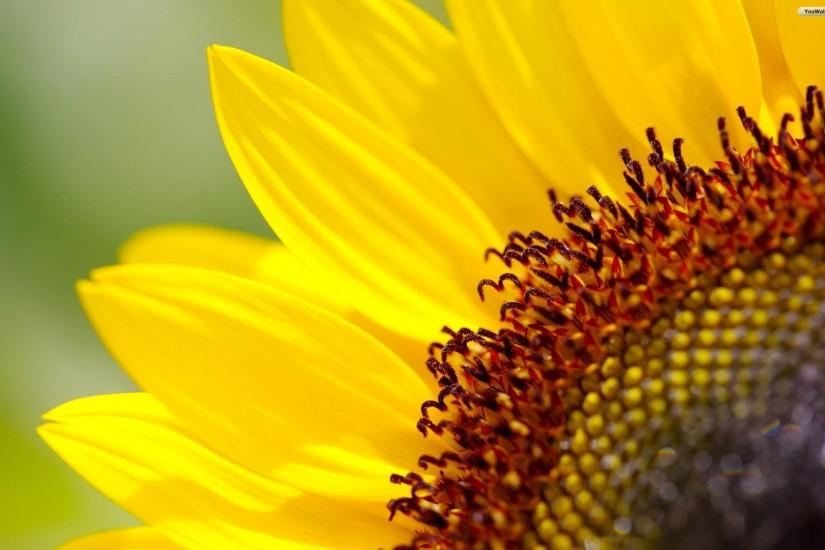 download free sunflower background 1920x1200 hd for mobile