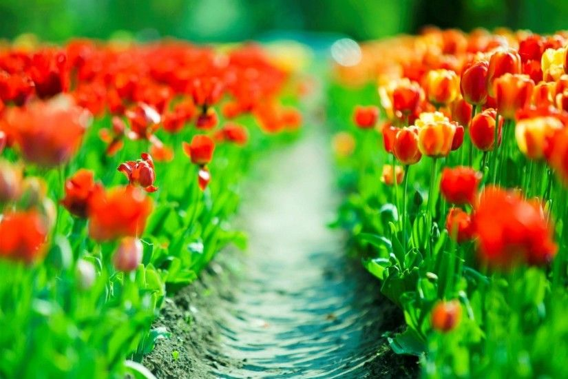 Spring blossom cherry flower background Beautiful Spring Tulips Background  Free Download