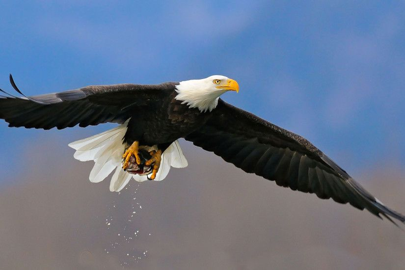 Animal - Bald Eagle Wallpaper