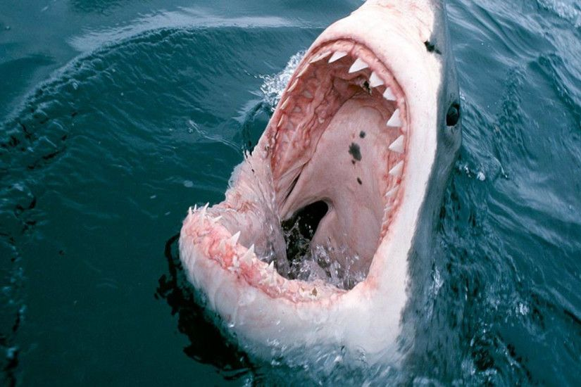 Great White Shark Attack Wallpaper