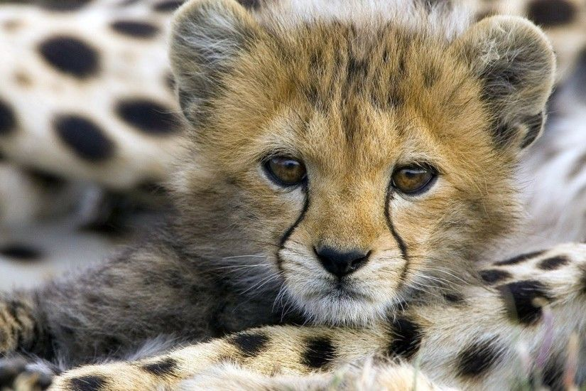 Baby Cheetah Wallpaper