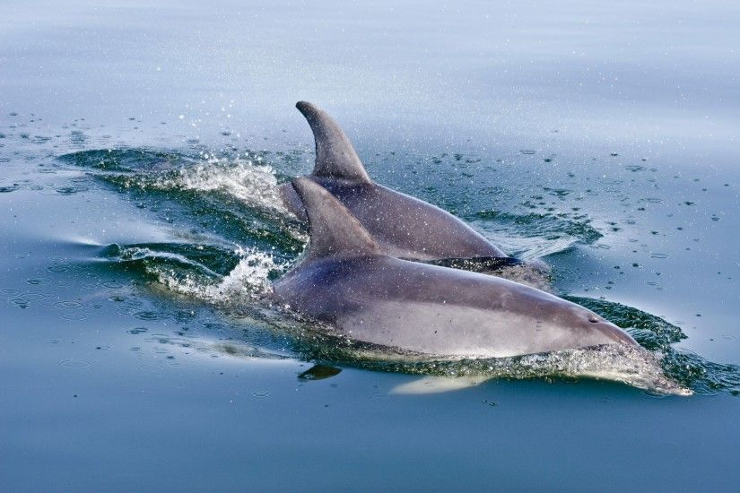 Bottlenose Dolphin High Quality Wallpapers