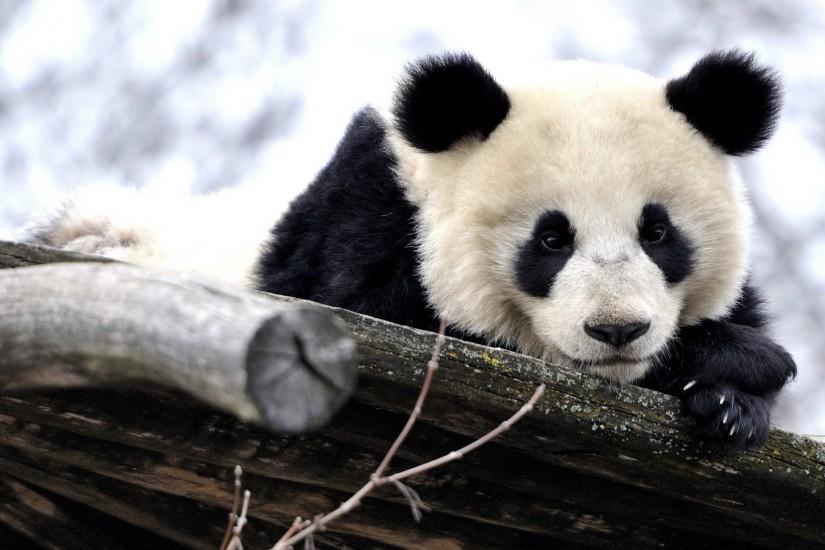 Panda wallpaper ·① Download free beautiful HD wallpapers ...