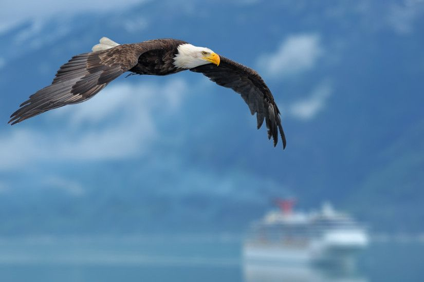Flying Wallpaper of Bald Eagle