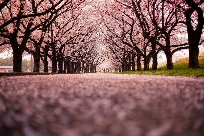 Row of cherry trees Nature HD desktop wallpaper, Tree wallpaper, Cherry  wallpaper, Blossom wallpaper - Nature no.
