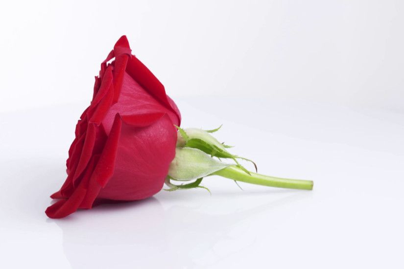 one red rose rotating on white background, 4k prores footage Stock Video  Footage - Storyblocks Video