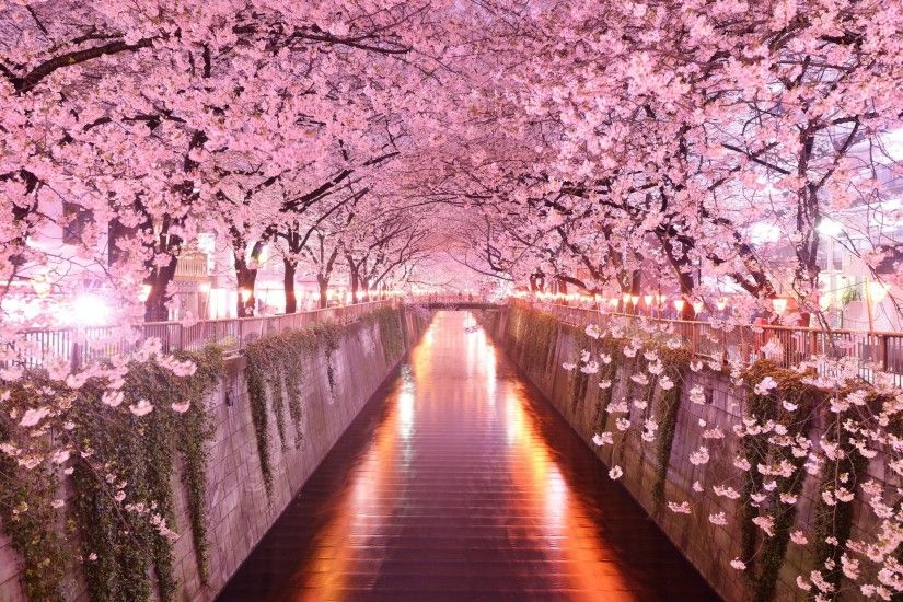 cherry blossom desktop wallpaper pictures free