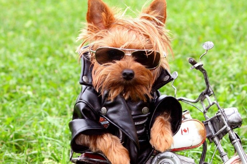 2560x1080 Wallpaper dog, biker, jackets, leather jackets, grass, yorkshire  terrier