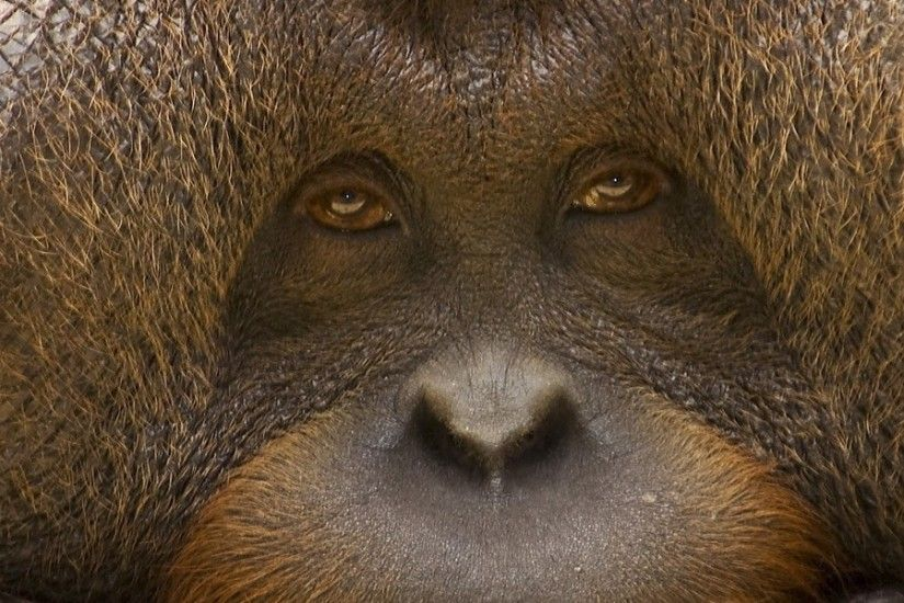 3840x1200 Wallpaper orangutan, monkey, face, eyes