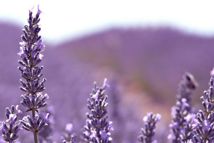 lavender wallpaper 1920x1200 tablet