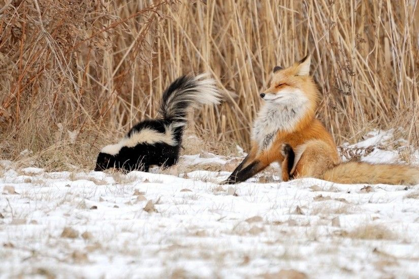 Animals, Funny Animals, Winter, Nature, Skunk, Fox, Skunk And Fox