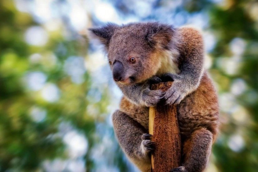 Explore Koala Bears, Animal Pics, and more!