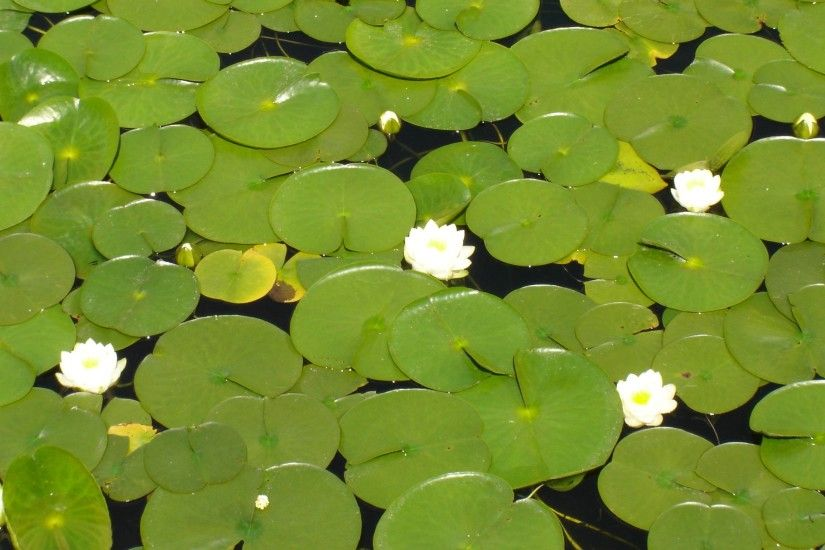 Lily Pad Images Wallpaper | FlowerHDWallpaper