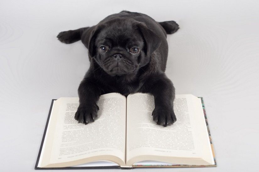 Pug Reading wallpapers and stock photos