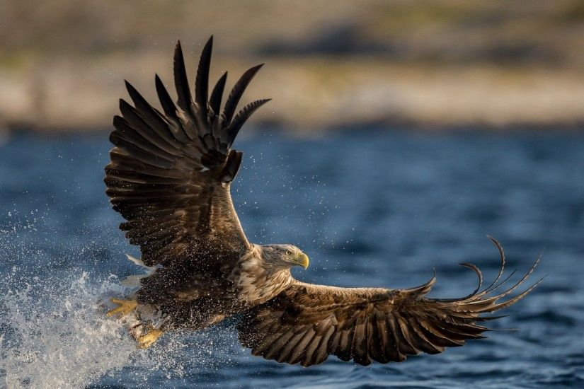Sea Eagle Wallpaper
