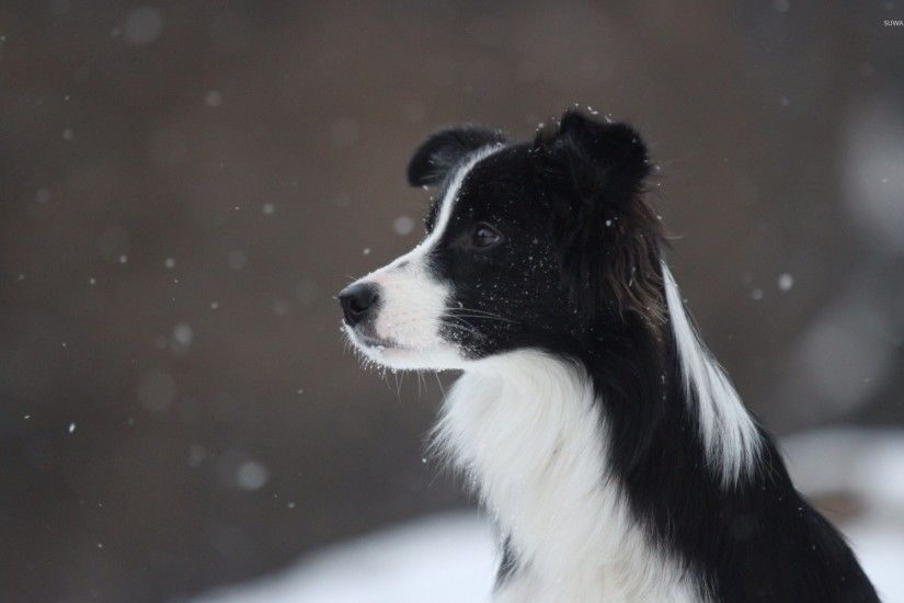 Border collie in the snowfall wallpaper