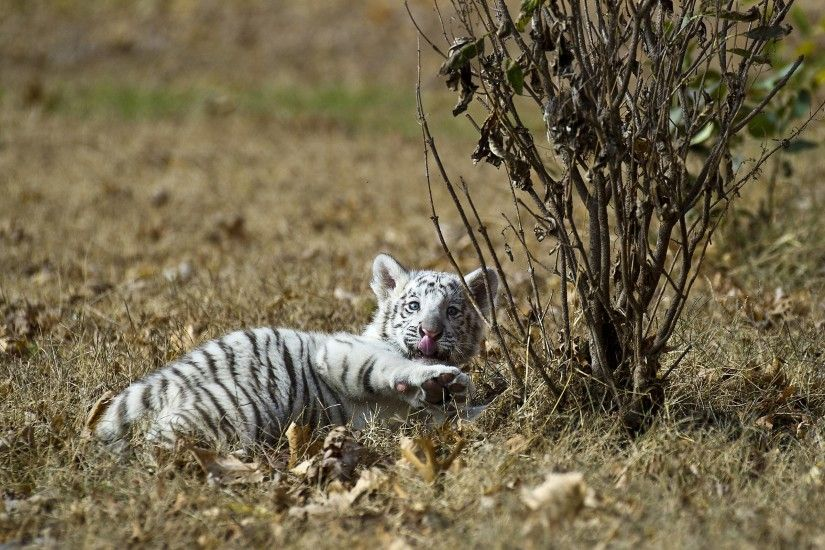 White Tiger Cub Wallpapers - 2560x1600 - 1831335