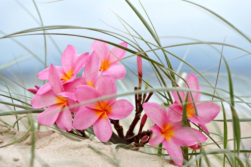 Plumeria on a beach sand dune wallpaper