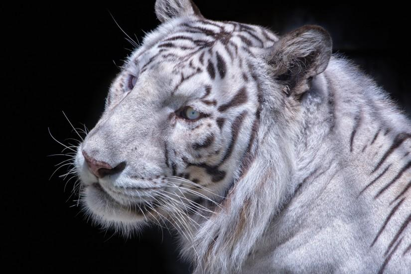Preview wallpaper white tiger, carnivore, muzzle, cat 3840x2160