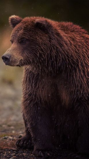Brown Bear animal wallpaper #Iphone #android #bear #animal #wallpaper check  out