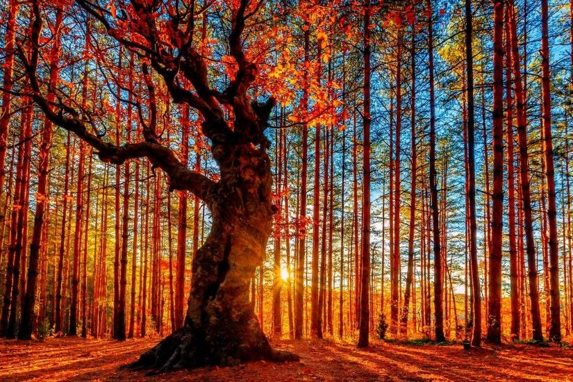 wallpaper.wiki-Red-trees-beautiful-forest-wallpaper-PIC-WPC003966