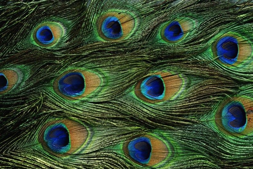 Animals For > Peacock Feathers Background Hd