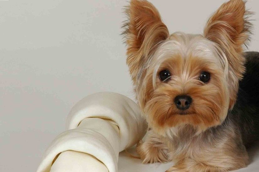 1920x1200 Wallpaper yorkshire terrier, lying, fabric, face, beautiful, dog
