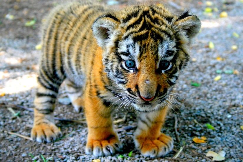 Baby Tiger Wallpaper Widescreen